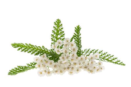 White yarrow flowers isolated on white background. Stock Photo