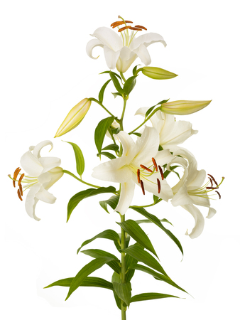 White lily plant isolated on a white background Archivio Fotografico