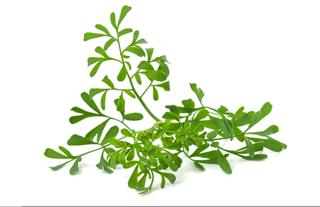 Common rue bunch isolated on white background