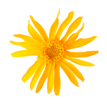 Arnica flower isolated on white background Stock Photo