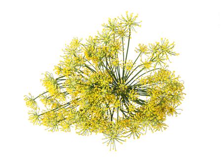 Wild fennel flowers isolated on white background Zdjęcie Seryjne