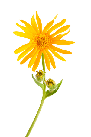 Arnica montana flower isolated on white background 版權商用圖片