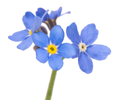 Forget-me-nots (Myosotis) Flowers on White Background