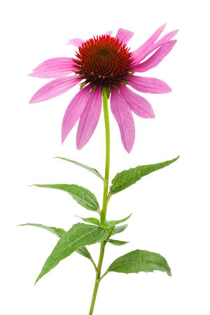 Pink coneflower (echinacea) isolated on white background Stockfoto
