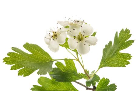 Hawthorn (Crataegus monogyna) flowers isolated on white background