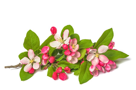 Apple Flowers with buds isolated on white background Фото со стока
