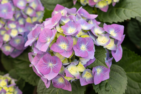 hydrangea plant with flowers and leaves