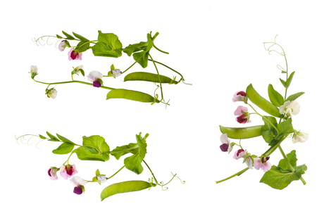 Peas plants group isolated on white background