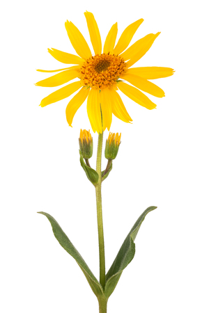 Arnica flower isolated on white background 版權商用圖片