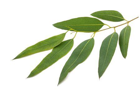Eucalyptus branch   isolated on white background
