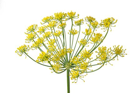 Wild fennel flowers isolated on white background Stok Fotoğraf - 125914283