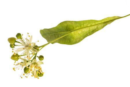 brattea di tiglio e fiori isolati su sfondo bianco