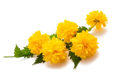 Kerria (Kerria japonica) isolated on white background