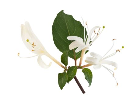 honeysuckle flowers isolated on white background