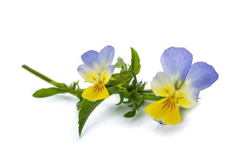 Viola tricolor isolated on white background