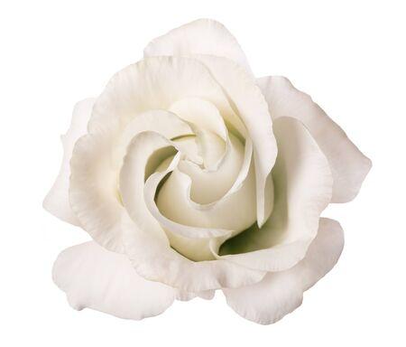 Fiore di rosa bianca isolato su priorità bassa bianca Archivio Fotografico