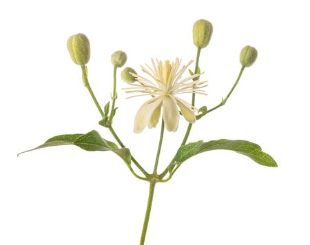 Clematis vitalba isolated on white background Banque d'images