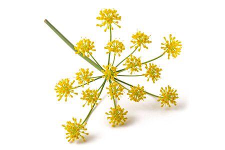 Dzikie kwiaty kopru włoskiego na białym tle