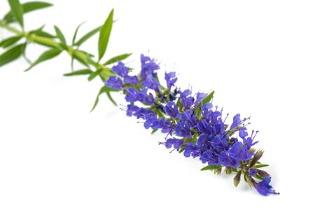 hyssop(Hyssopus officinalis) flowers isolated on white background
