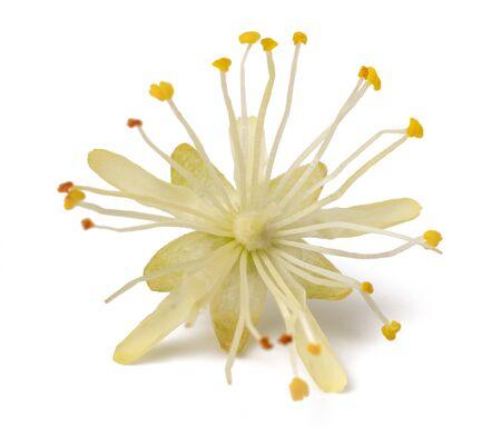 linden   flower isolated on white background