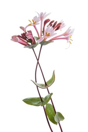 Pink honeysuckle  flowers isolated on white background
