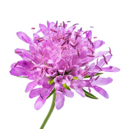 Field scabious  flower isolated on white background