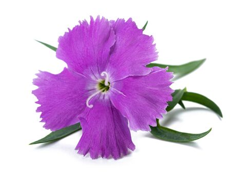 Dianthus flower head isolated on white background Stockfoto - 128534378