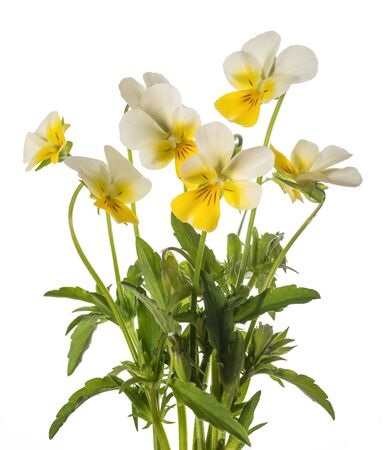 pansy flowers bunch isolated on white background Stock Photo