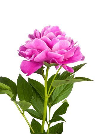 Flor de peonía rosa aislado sobre fondo blanco.