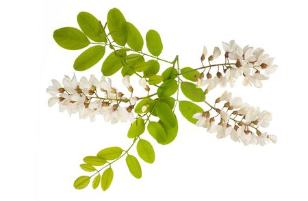 Acacia branch with flowers isolated on white