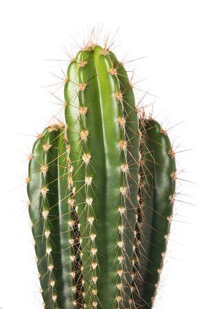 Kaktus getrennt auf weißem Hintergrund