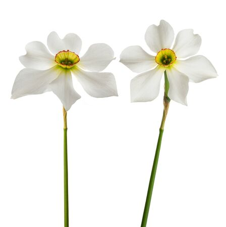 White daffodil (Narcissus poeticus) isolated on white background