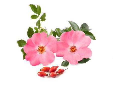 Hondsroos (rosa canina) geïsoleerd op witte achtergrond Stockfoto