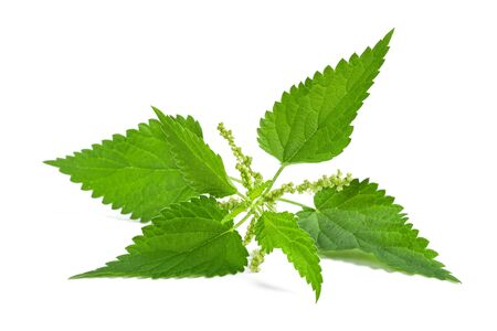 Nettle with flower isolated on white background