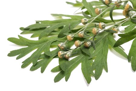 Artemisia absinthium flowers and leaves isolated on white