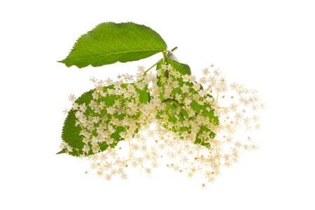 Elderberry flowers isolated on a white background