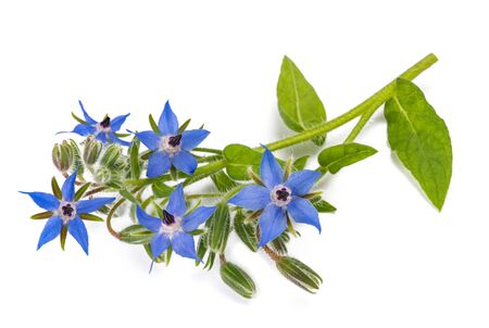 Borage plant (Borago officinalis) isolated on white background 版權商用圖片 - 133245517