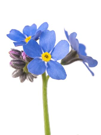 Forget-me-not (Myosotis) Flowers on White Background