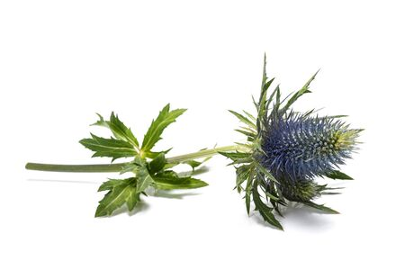 Sea holly thistles isolated on white background Archivio Fotografico