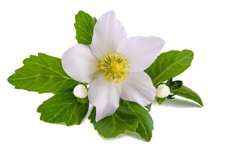 Hellebore flower (Christmas rose) isolated on white Stock Photo