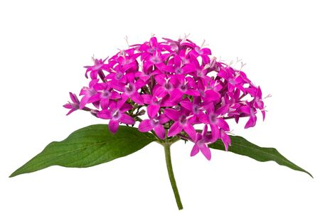 Pentas flowers isolated on white background