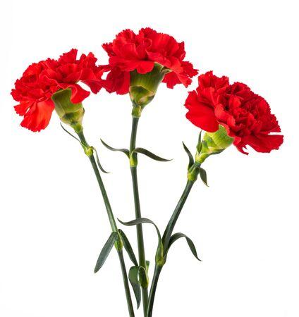 Czerwony kwiat goździka na białym tle