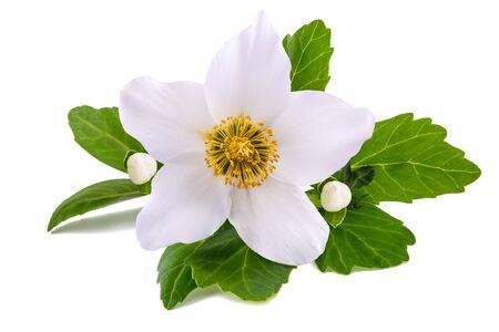 Hellebore flower (Christmas rose) isolated on white