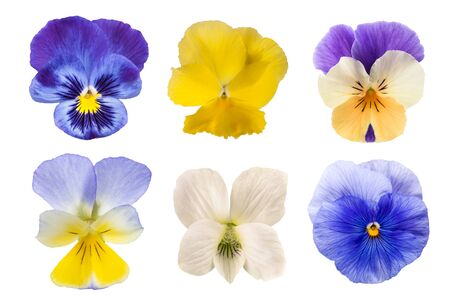 Pansy flowers mix isolated on white background