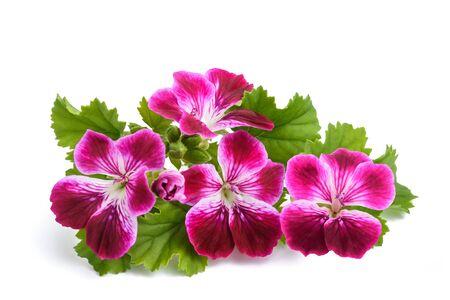 Geranium flowers isolated on white background