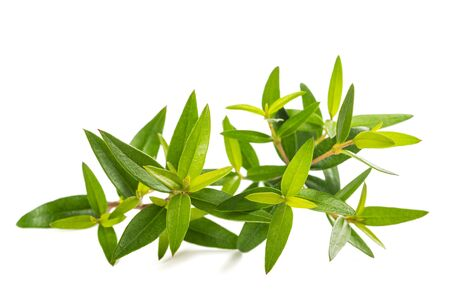 Fresh myrtle branch isolated on white background