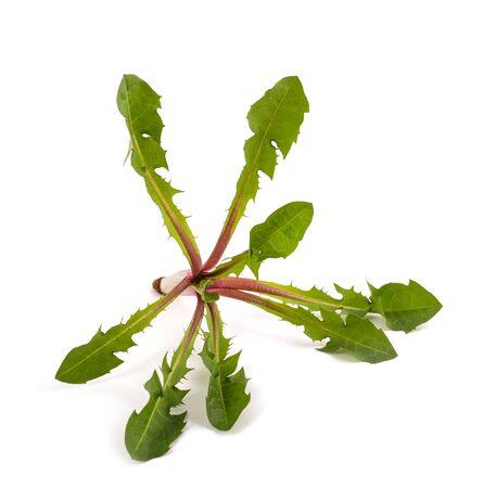 dandelion plant isolated on white background