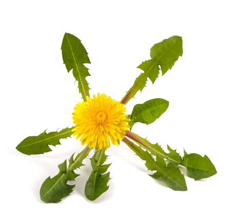 dandelion plant with flowers isolated on white background Stock Photo