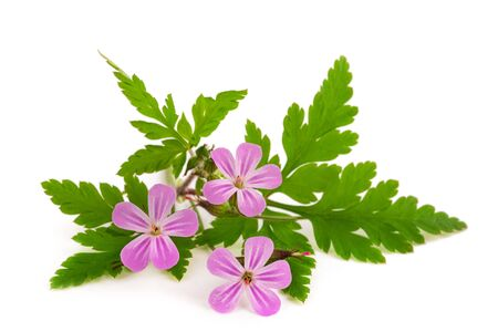 Herb Robert flowers isolated on white background Stock Photo