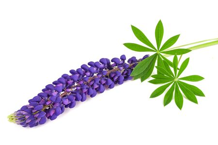 Lupin flower with leaves isolated on white background